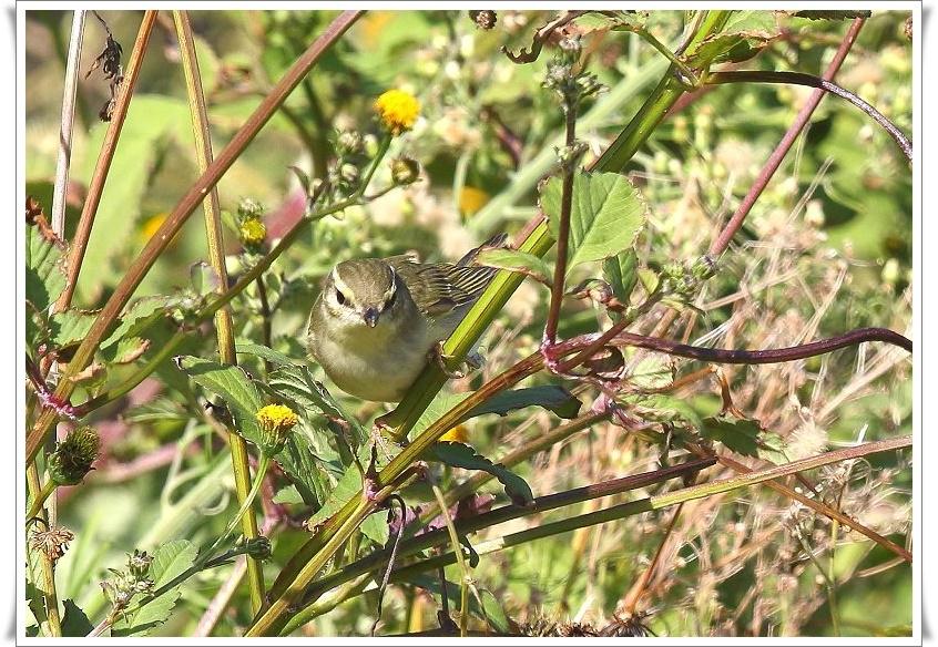 メボソムシクイは、夏鳥として北海道、本州、四国に渡来_b0346933_1142317.jpg