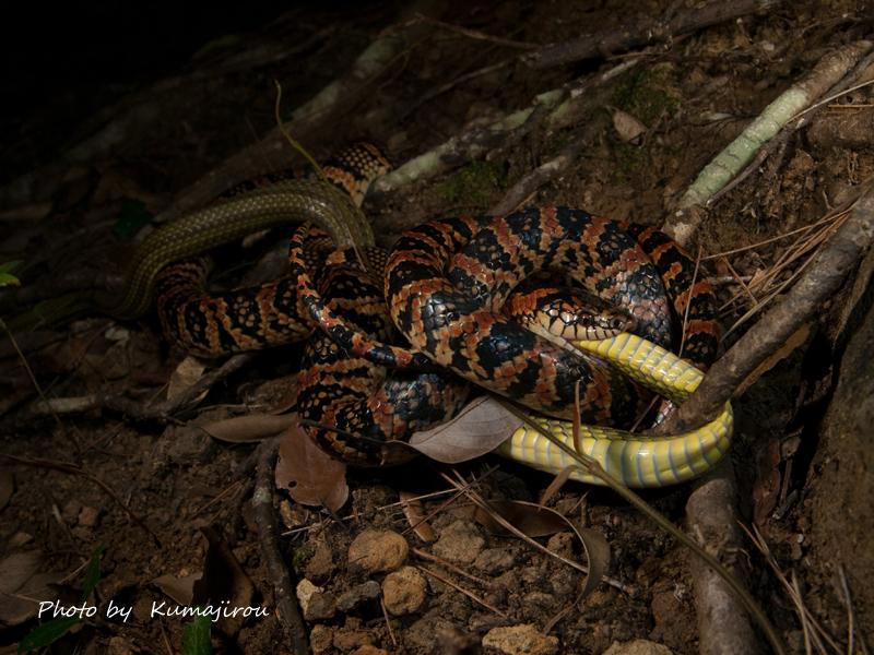 リュウキュウアオヘビを捕食するアカマタ_b0192746_02462756.jpg