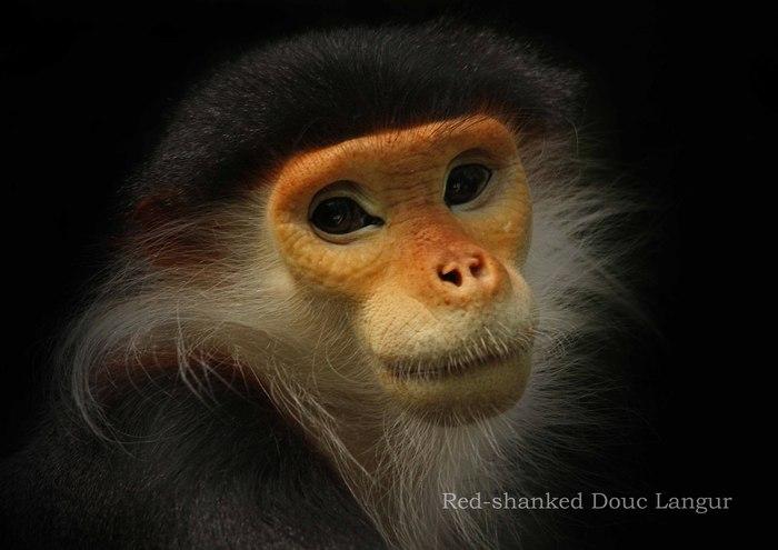 アカアシドゥクラングール:Red-shanked Douc Langur_b0249597_5371758.jpg