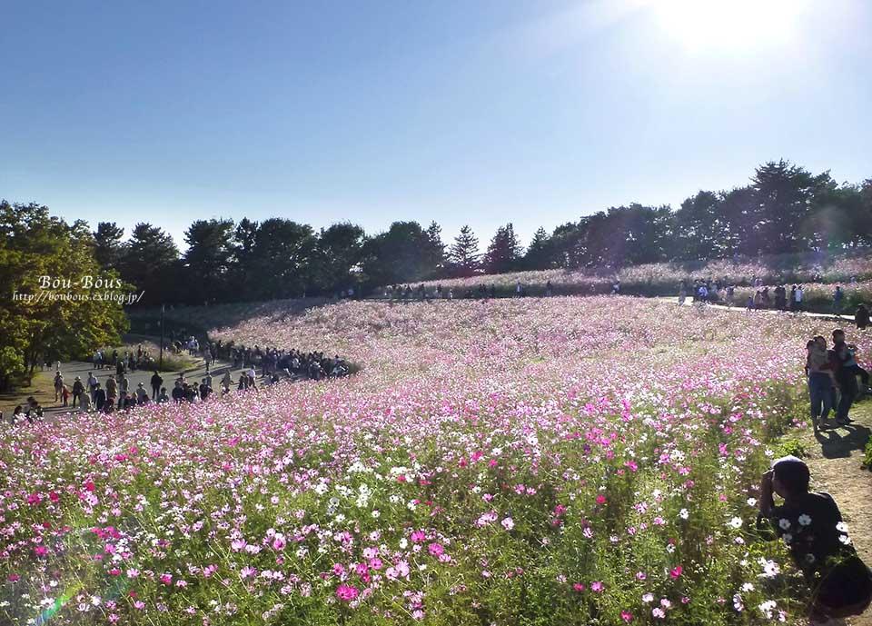 秋の昭和記念公園 その2 コスモスの丘・他_d0128697_483053.jpg