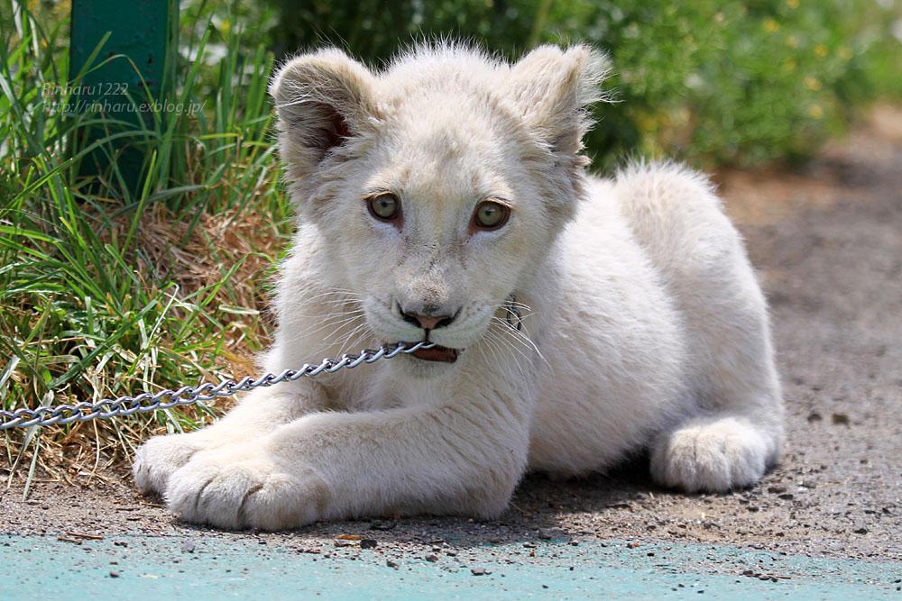 2015.5.31 東北サファリパーク☆ホワイトライオンのポップ<お散歩編>【White lion baby】_f0250322_22432511.jpg