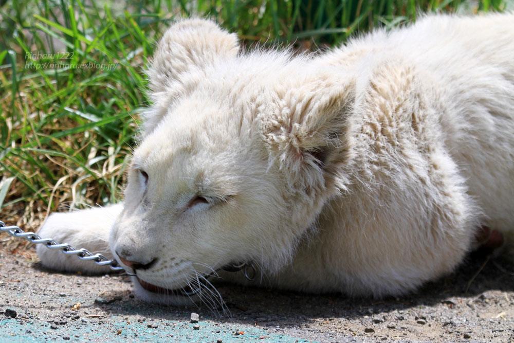 2015.5.31 東北サファリパーク☆ホワイトライオンのポップ<お散歩編>【White lion baby】_f0250322_22433054.jpg