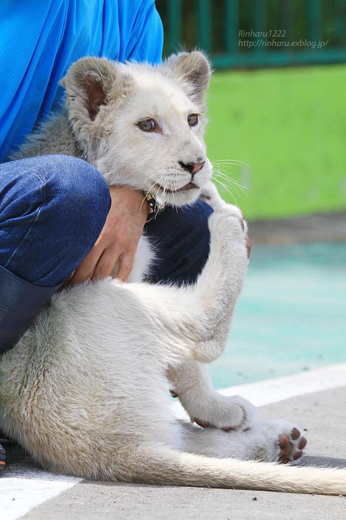 2015.5.31 東北サファリパーク☆ホワイトライオンのポップ<お散歩編>【White lion baby】_f0250322_22433352.jpg