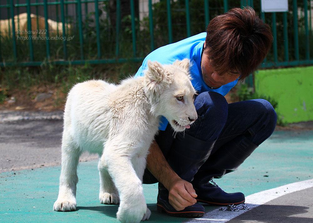 2015.5.31 東北サファリパーク☆ホワイトライオンのポップ<お散歩編>【White lion baby】_f0250322_22433731.jpg