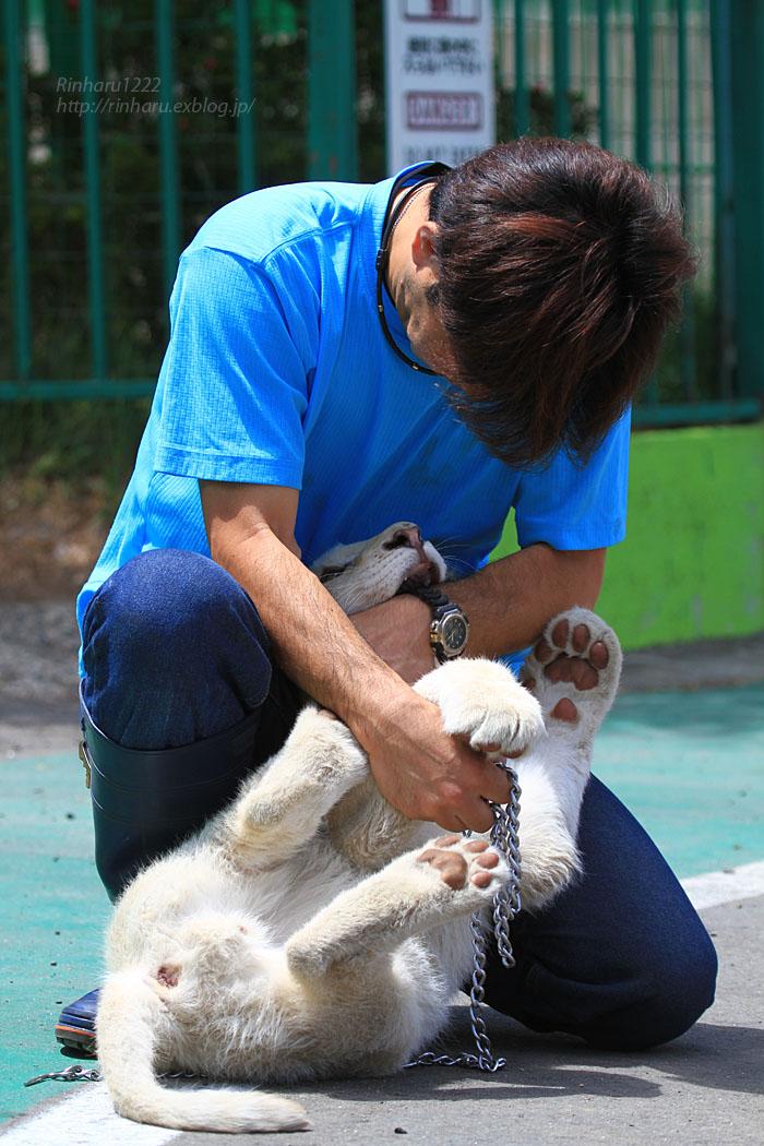 2015.5.31 東北サファリパーク☆ホワイトライオンのポップ<お散歩編>【White lion baby】_f0250322_22434146.jpg
