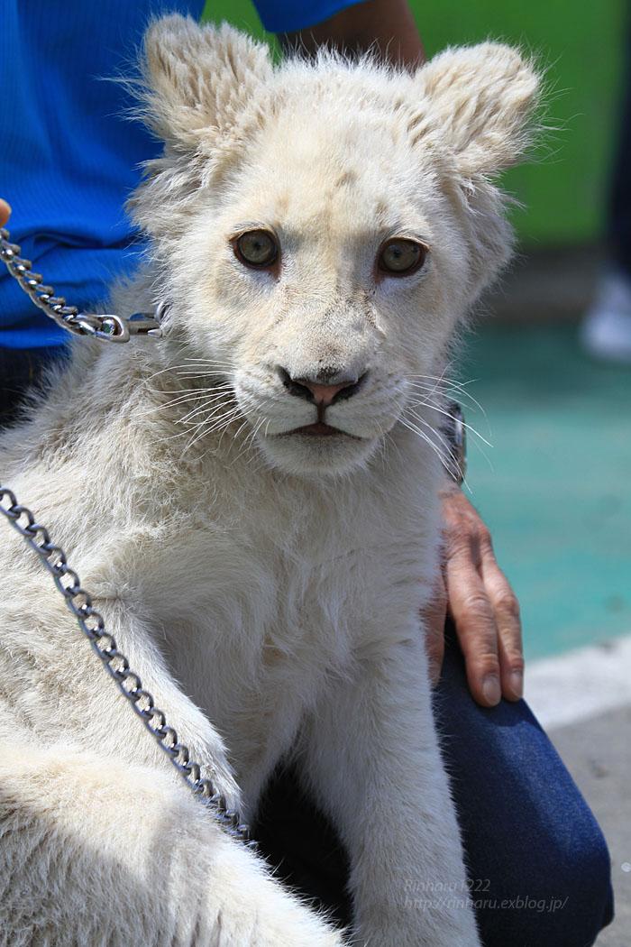2015.5.31 東北サファリパーク☆ホワイトライオンのポップ<お散歩編>【White lion baby】_f0250322_22434590.jpg