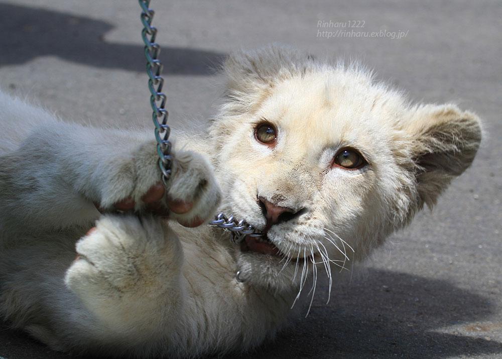 2015.5.31 東北サファリパーク☆ホワイトライオンのポップ<お散歩編>【White lion baby】_f0250322_22435180.jpg