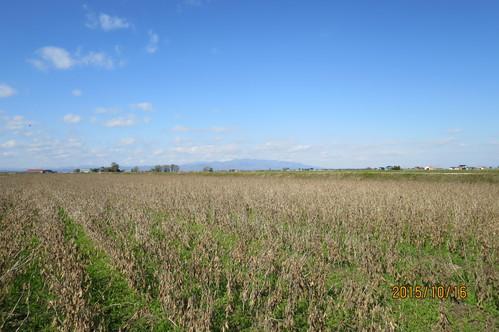 今年最後のかぶと大豆収穫_f0231042_19404848.jpg
