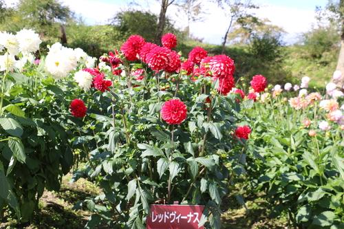 咲いている川西ダリヤ園・・・144_c0075701_1573493.jpg