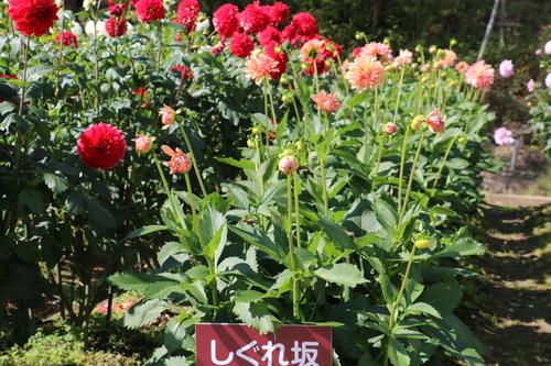 咲いている川西ダリヤ園・・・144_c0075701_1583255.jpg
