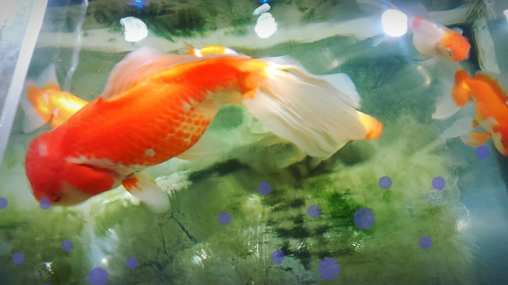 金魚_c0357454_07451644.jpg