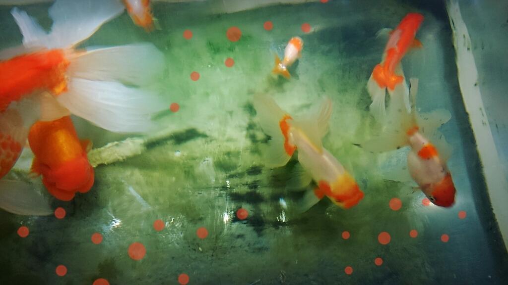 金魚_c0357454_07451662.jpg