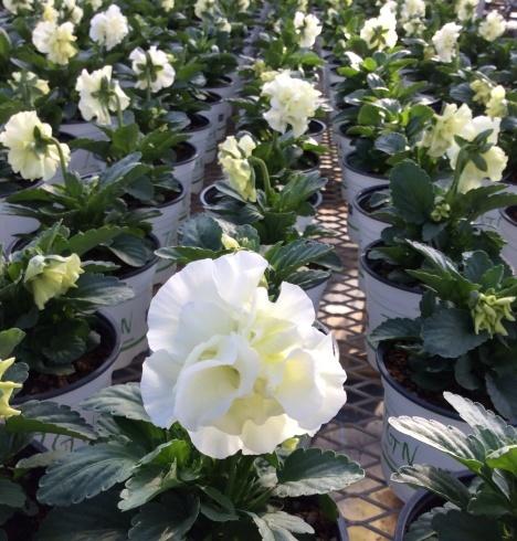 ビオラが繋いでくれた「濃厚プレミアム関東花の旅」_b0137969_05560435.jpg