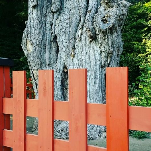 コチラが『大いちょうの大木。』鎌倉 鶴岡八幡宮。_d0092901_00572810.jpg