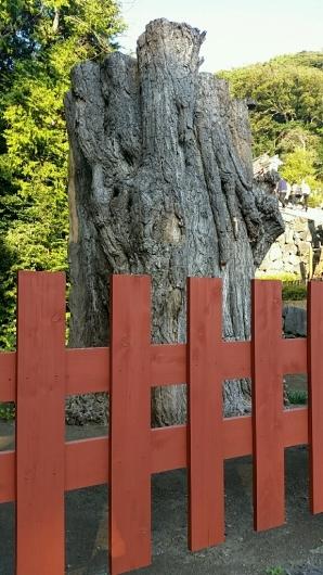 コチラが『大いちょうの大木。』鎌倉 鶴岡八幡宮。_d0092901_00573267.jpg