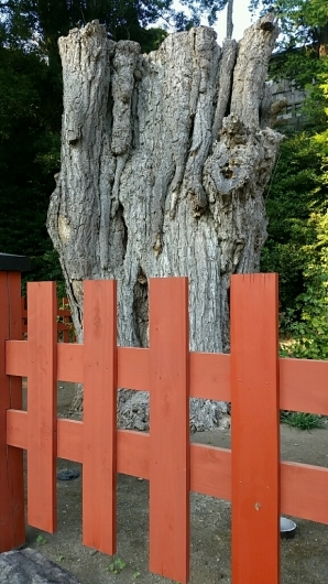 コチラが『大いちょうの大木。』鎌倉 鶴岡八幡宮。_d0092901_00573552.jpg