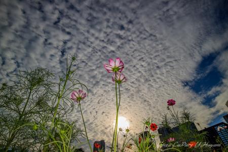 花のある風景 夕刻の曇り空とコスモス_b0133053_0425546.jpg