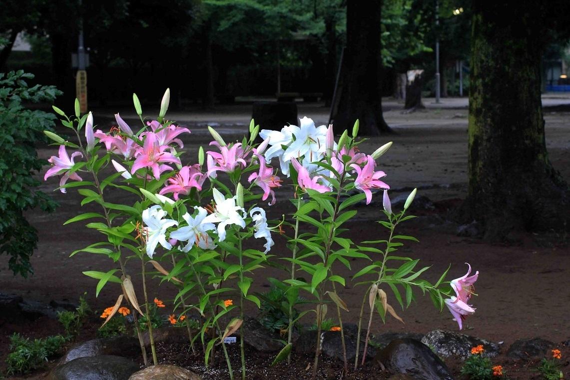 ケヤキと自然石を使って  ~ユリの花壇づくり~_a0107574_15471374.jpg