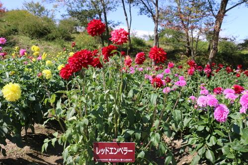咲いている川西ダリヤ園・・・149_c0075701_549433.jpg