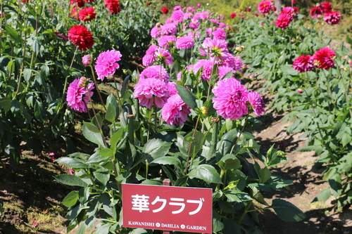 咲いている川西ダリヤ園・・・149_c0075701_550642.jpg
