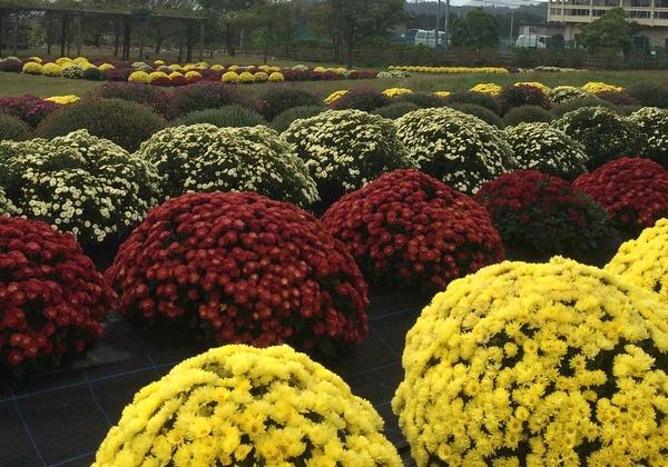 秦野戸川公園で、ざる菊、コスモスが楽しめるよ_c0171849_12563281.jpg