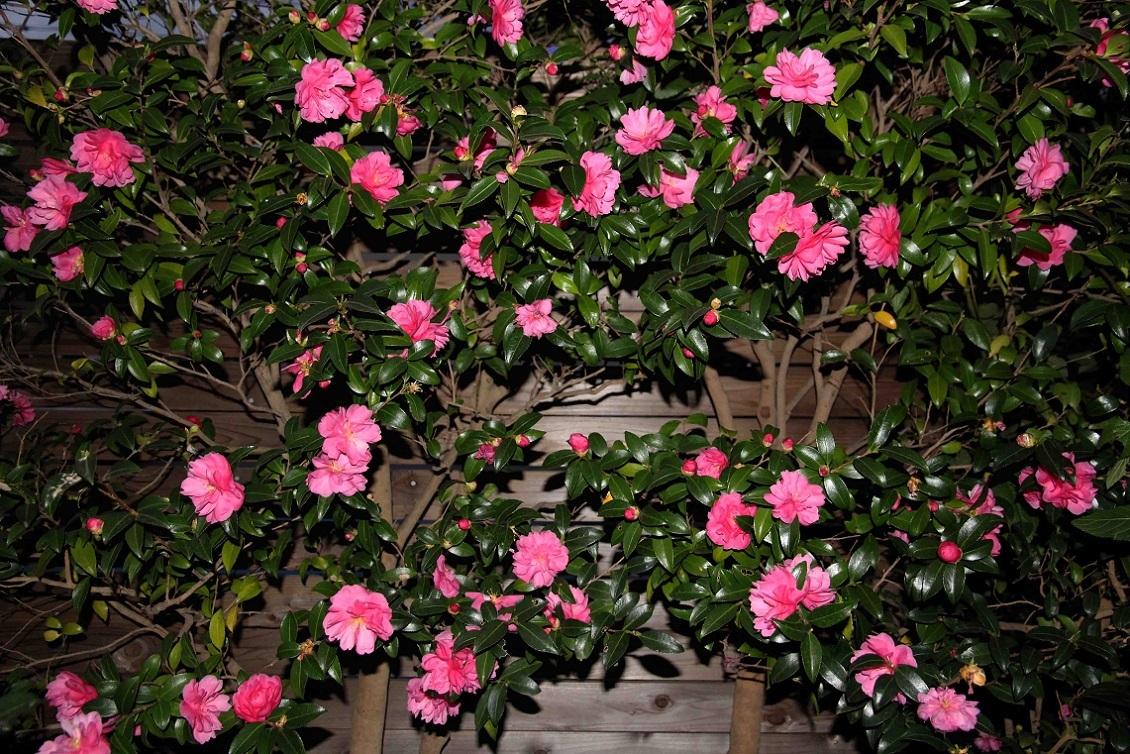 明日はbirthday  ~サザンカ(山茶花)の咲くころ~_a0107574_17110494.jpg