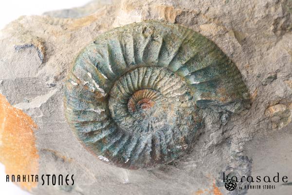 アンモナイト化石(ドイツ産)_d0303974_10324632.jpg
