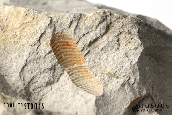 アンモナイト化石(ドイツ産)_d0303974_10342022.jpg