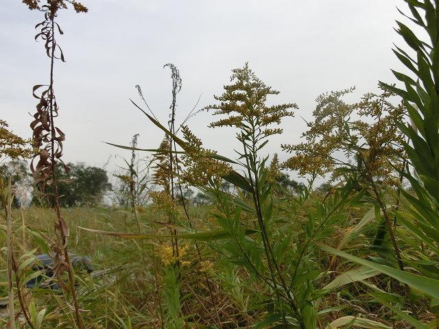 浮島ヶ原自然公園で「セイタカアワダチソウをやっつけよう!」作戦_f0141310_9282661.jpg