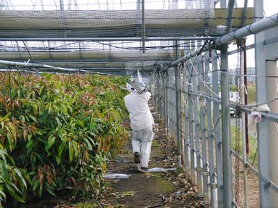 樹上完熟アップルマンゴー ハウスの補修作業と新芽_a0254656_1871992.jpg