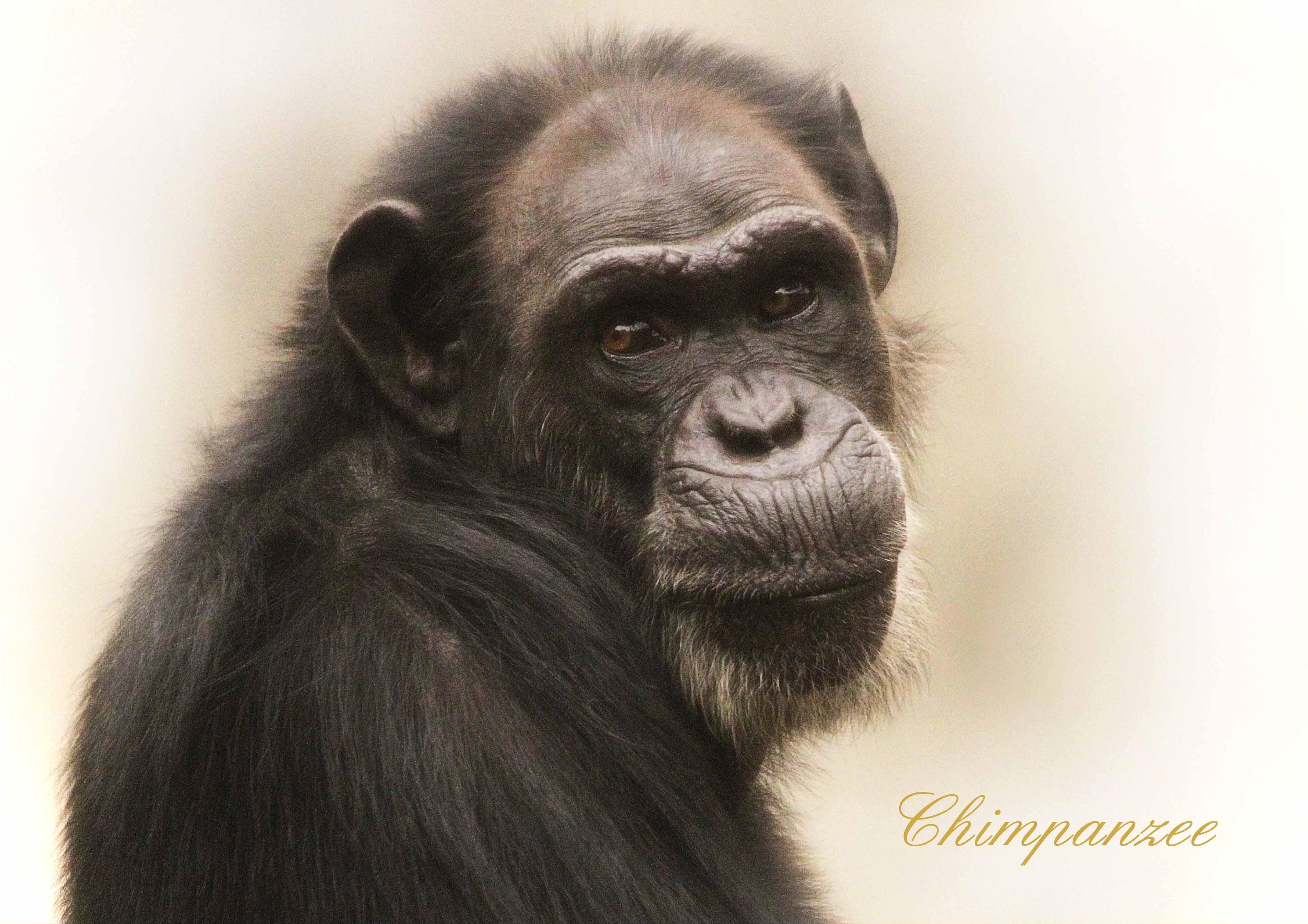 チンパンジー:Chimpanzee_b0249597_5474095.jpg