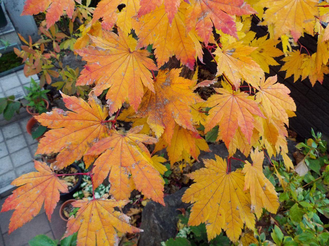 黄葉・紅葉も楽じゃない、そして秋はキク_c0025115_21215500.jpg
