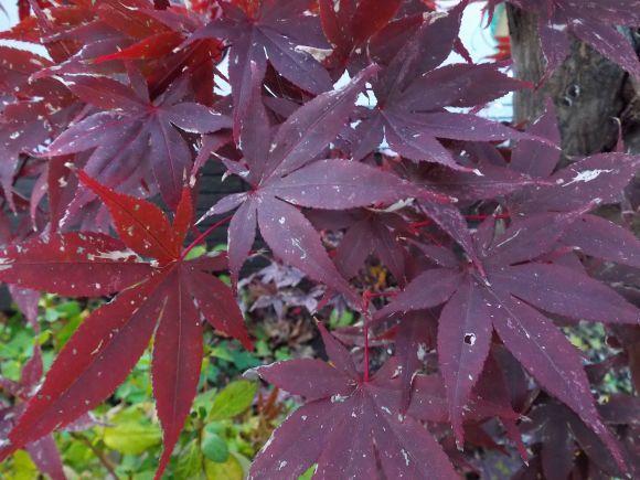 黄葉・紅葉も楽じゃない、そして秋はキク_c0025115_21215955.jpg