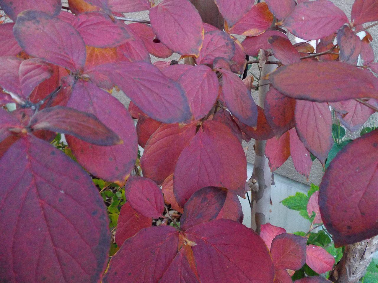 黄葉・紅葉も楽じゃない、そして秋はキク_c0025115_21220711.jpg