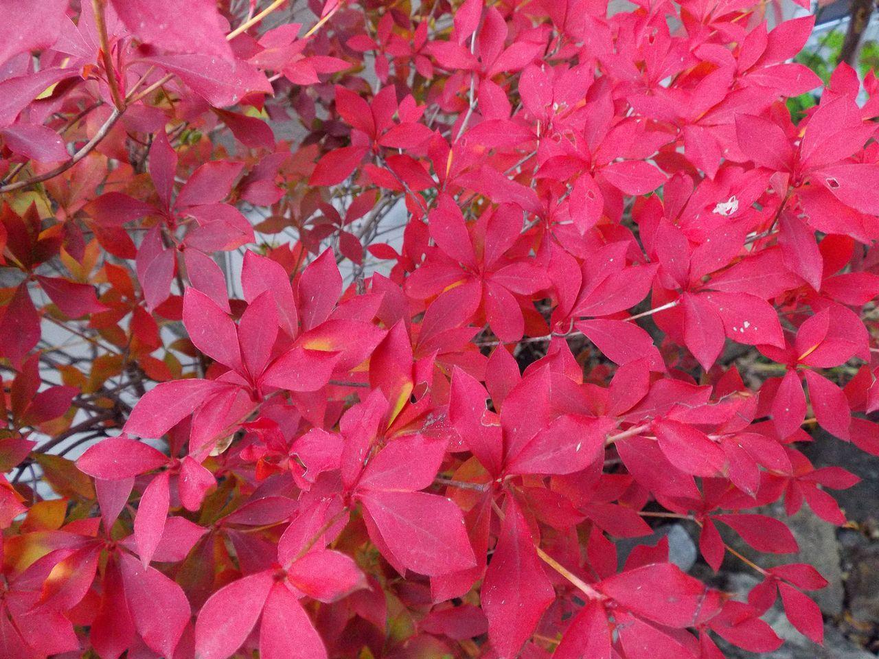 黄葉・紅葉も楽じゃない、そして秋はキク_c0025115_21221014.jpg