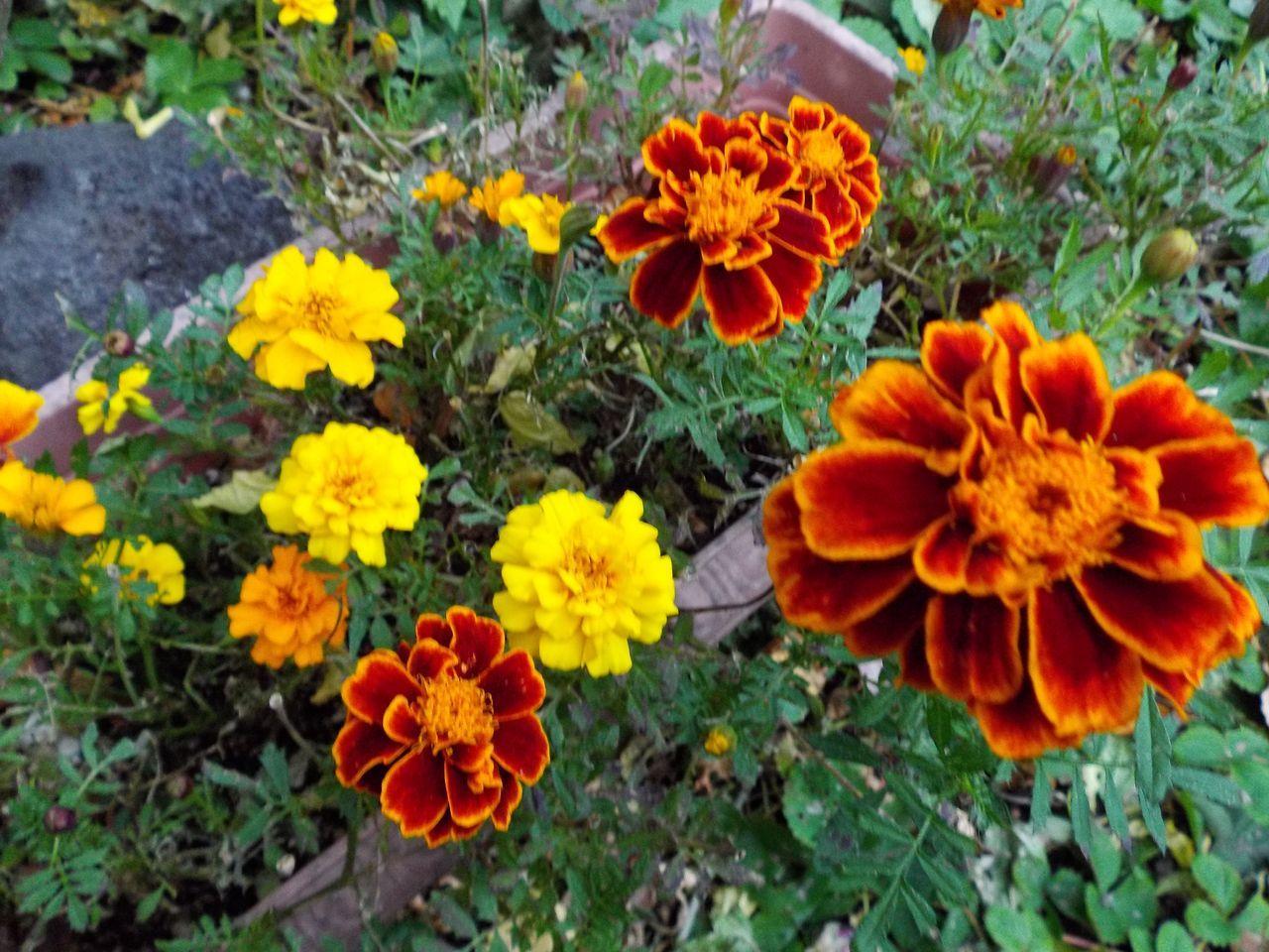 黄葉・紅葉も楽じゃない、そして秋はキク_c0025115_21223291.jpg
