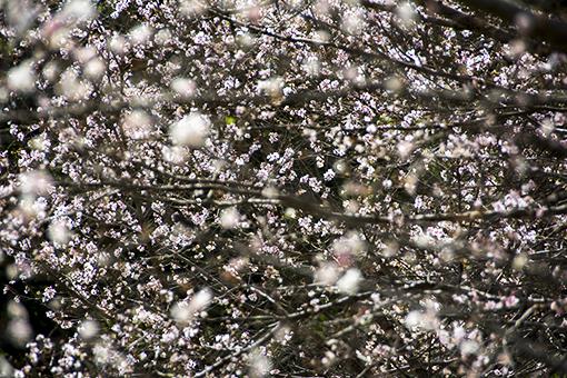 十月桜_f0143469_15414393.jpg