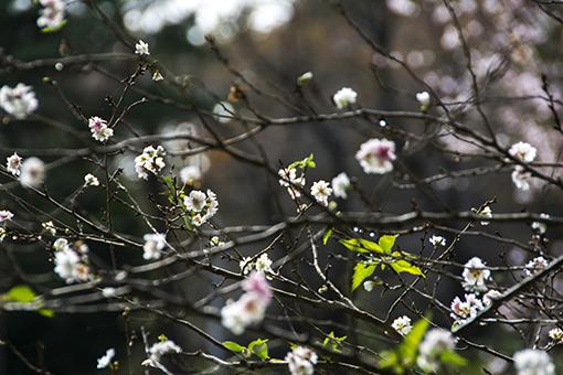 十月桜_f0143469_15415775.jpg