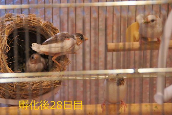 ジュウシマツのヒナ~孵化後28日目まで_c0139591_19525038.jpg