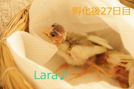 ジュウシマツのヒナ~孵化後28日目まで_c0139591_19531848.jpg