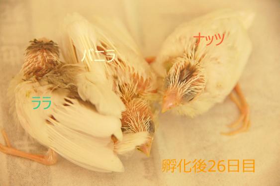 ジュウシマツのヒナ~孵化後28日目まで_c0139591_1953737.jpg