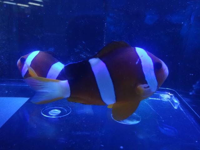 151104 海水魚・水草・淡水魚_f0189122_12282450.jpg