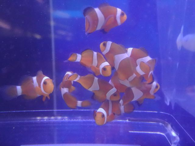 151104 海水魚・水草・淡水魚_f0189122_12293042.jpg