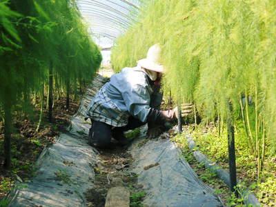 アスパラ 「なごみの里の朝採り『グリーンアスパラ』」 来年の収穫へ向け、秋の様子を現地取材_a0254656_18132275.jpg