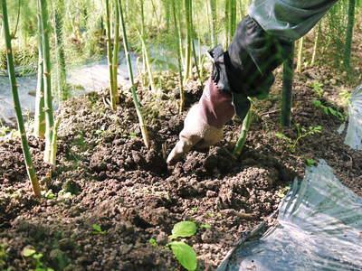 アスパラ 「なごみの里の朝採り『グリーンアスパラ』」 来年の収穫へ向け、秋の様子を現地取材_a0254656_18152283.jpg