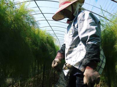 アスパラ 「なごみの里の朝採り『グリーンアスパラ』」 来年の収穫へ向け、秋の様子を現地取材_a0254656_18185427.jpg