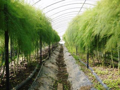 アスパラ 「なごみの里の朝採り『グリーンアスパラ』」 来年の収穫へ向け、秋の様子を現地取材_a0254656_18223637.jpg