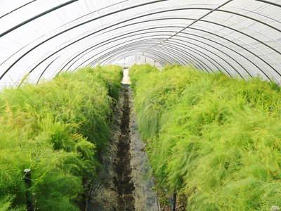 アスパラ 「なごみの里の朝採り『グリーンアスパラ』」 来年の収穫へ向け、秋の様子を現地取材_a0254656_18251923.jpg