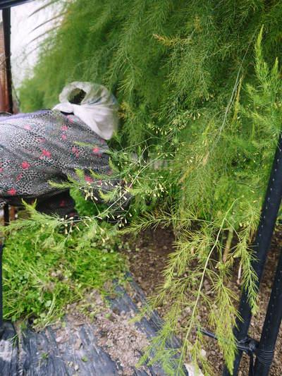 アスパラ 「なごみの里の朝採り『グリーンアスパラ』」 来年の収穫へ向け、秋の様子を現地取材_a0254656_1854343.jpg
