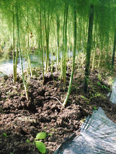 アスパラ 「なごみの里の朝採り『グリーンアスパラ』」 来年の収穫へ向け、秋の様子を現地取材_a0254656_1883446.jpg